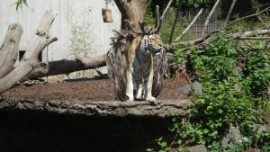 Nature Talent Tiger